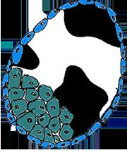 Bovine pluripotent stem cells